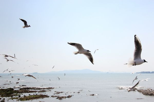 海上翱翔的海鸥图片