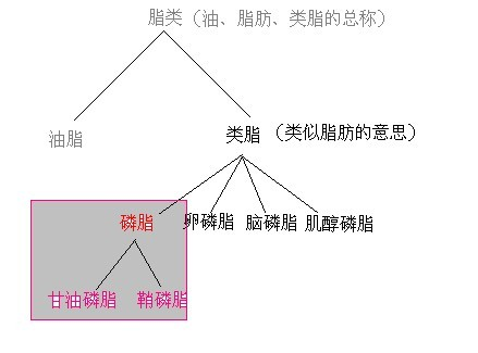 甘油磷脂与磷脂的关系