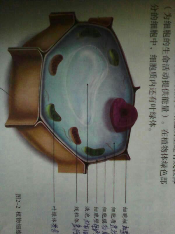 求张动物细胞结构简图和植物细胞结构示意图,必采.