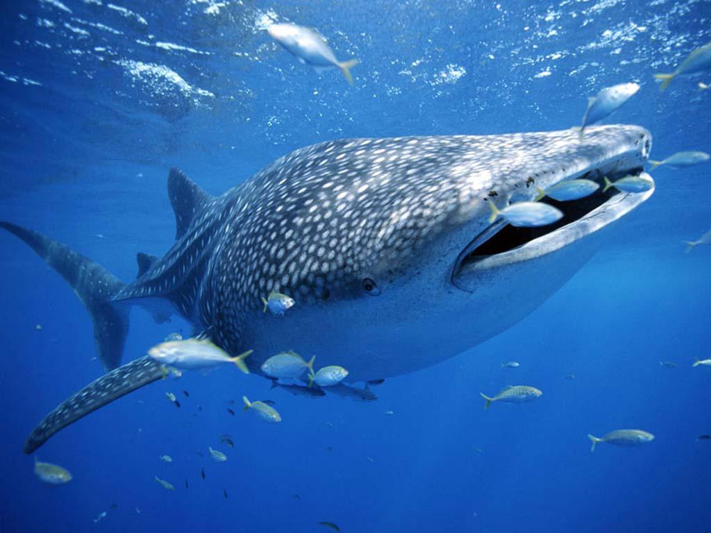 鲸鲨是什么样子