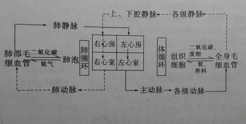 血液循环图表怎么做.请小伙伴们赐教!图片