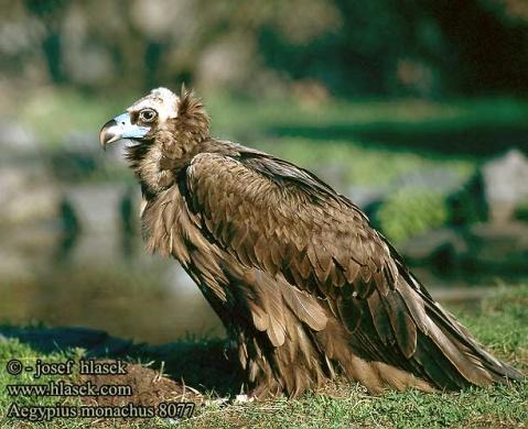 老鹰的重生……啊不,雕的重生只是个传说,根本就不可能.