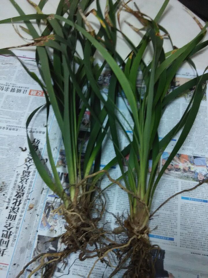 野兰花~下山兰~在广西大石山上看到两颗兰花,但是不