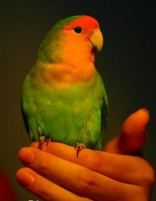 绿桃牡丹鹦鹉成鸟有多大(最好有图片)