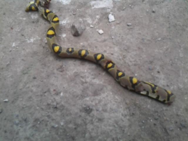 身上是灰色的有些黄色的花纹是什么蛇 如下图
