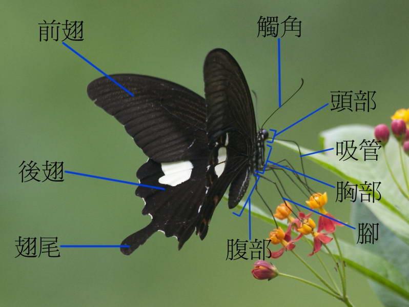 蝴蝶的身体结构