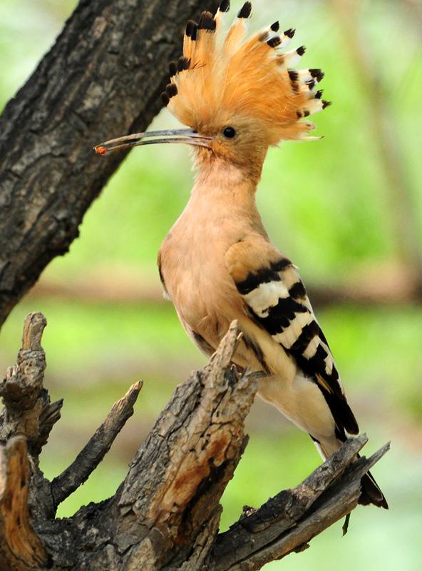 头顶毛能竖立是什么鸟