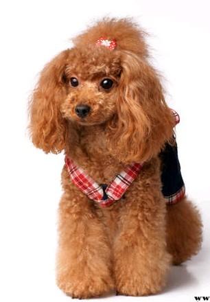 彩铅手绘泰迪狗