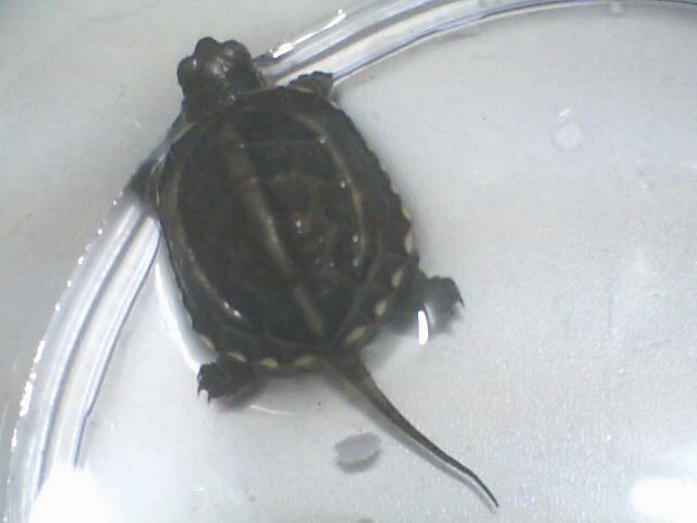 我想问下这个长尾巴的乌龟叫什么名字啊?