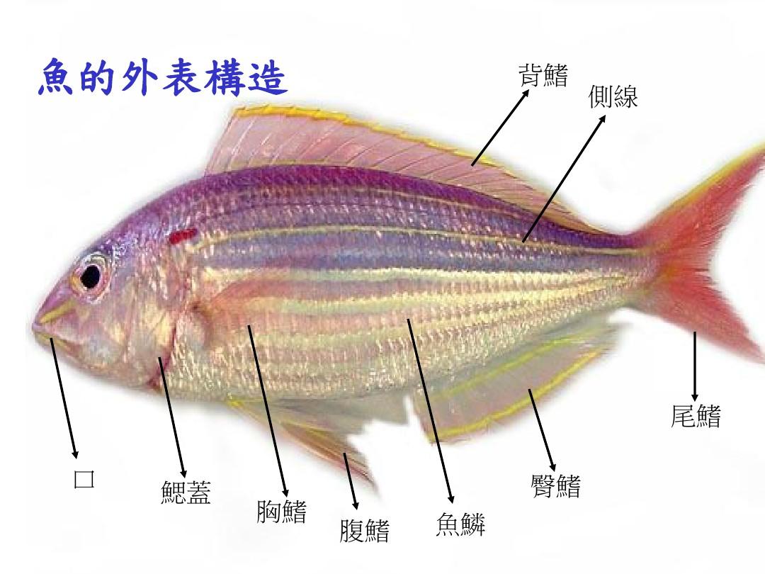 鱼的结构图是怎样的?