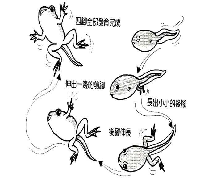 小蝌蚪怎样变成青蛙的?图片