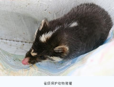 这是猪獾的一个亚种,是保护动物.