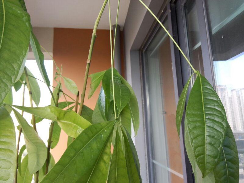 发财树叶子蔫,茎枯,根部白点,是什么问题(o_o)?怎么救活呀?