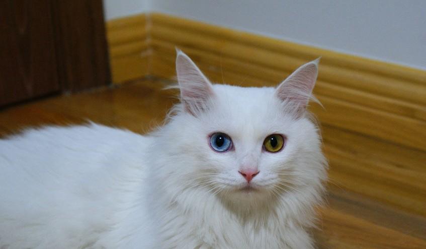 这是什么猫?波斯?我捡来的 两只眼睛不一样图片