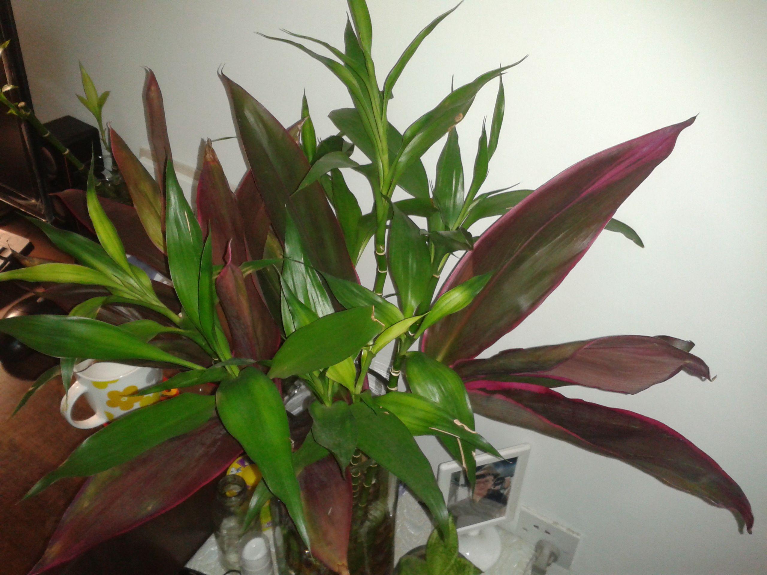 水培的叶边紫红色的竹子叫什么名字