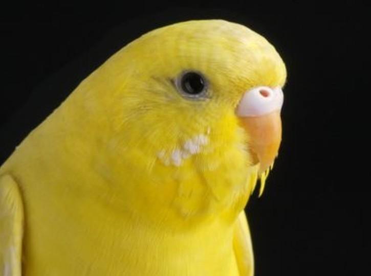 全身黄色的小鸟