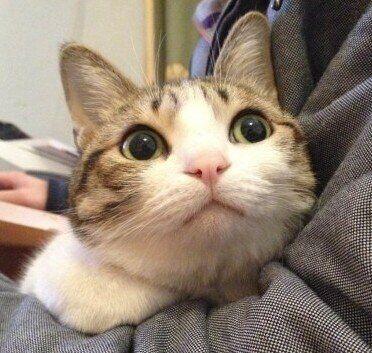 猫品种大全及图片 最适合家养的猫排名 大型猫品种 什么猫最可爱 猫