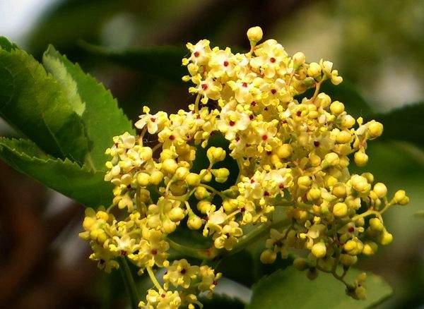 丁香黄色小�_黄色的丁香花
