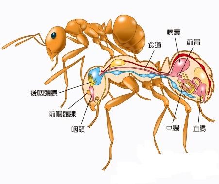 请问蚂蚁的身体以及内脏结构图