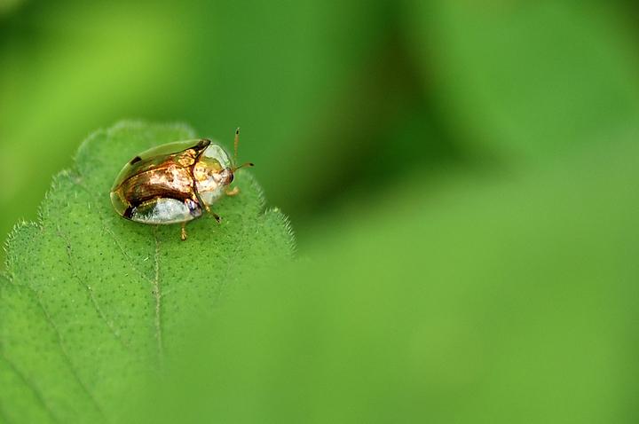 希望大家能回答我这只金色的小虫是什么虫 非诚勿扰图片