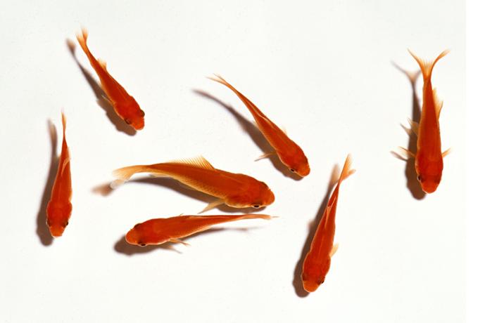 比红色鲤鱼小,但很像的鱼缸里养的小鱼,就图片上这种鱼,叫什么名字图片