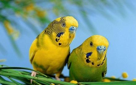 帮忙看看这虎皮鹦鹉是公还是母