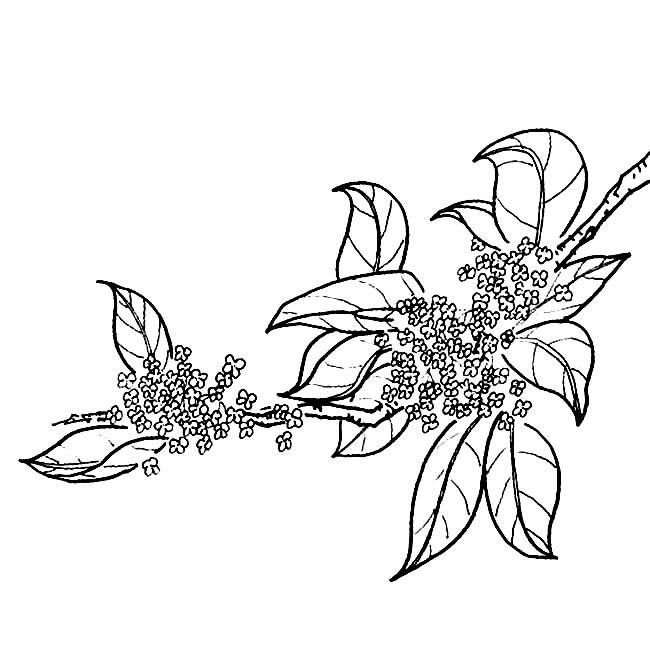 桂花的简笔画怎么画