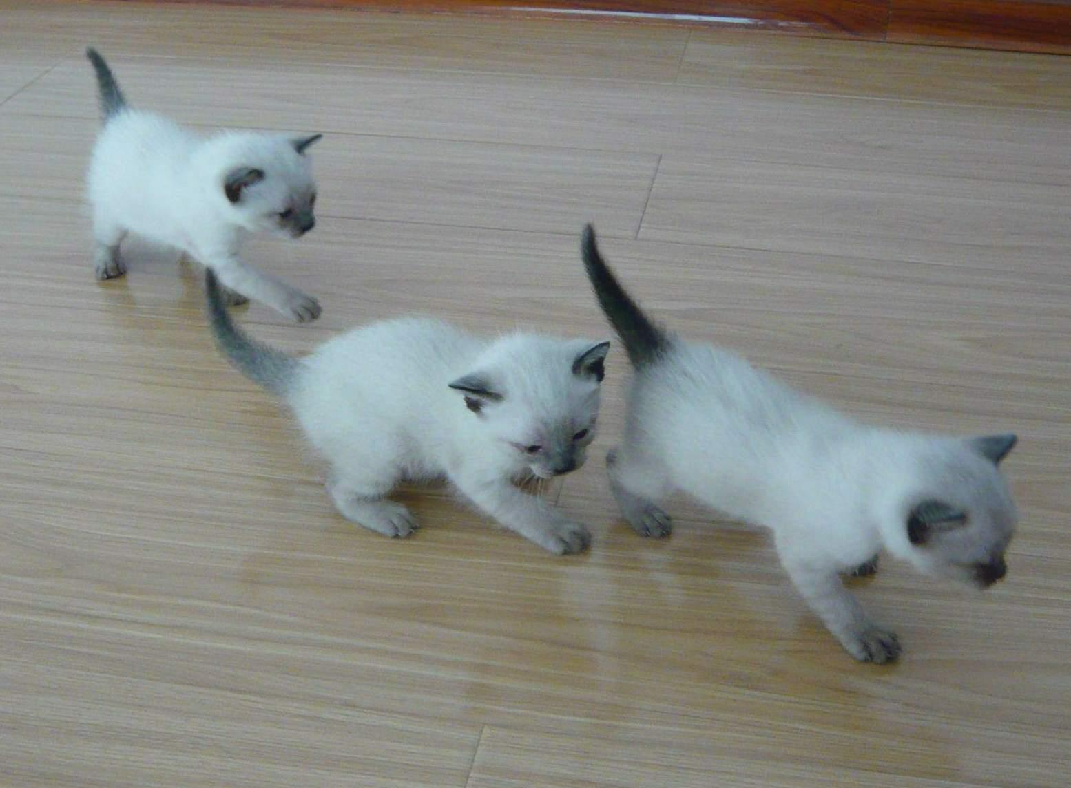 猪肉部位分布�_求可爱猫猫的品种,全,附图片,最好是好看一点的,萌一点的