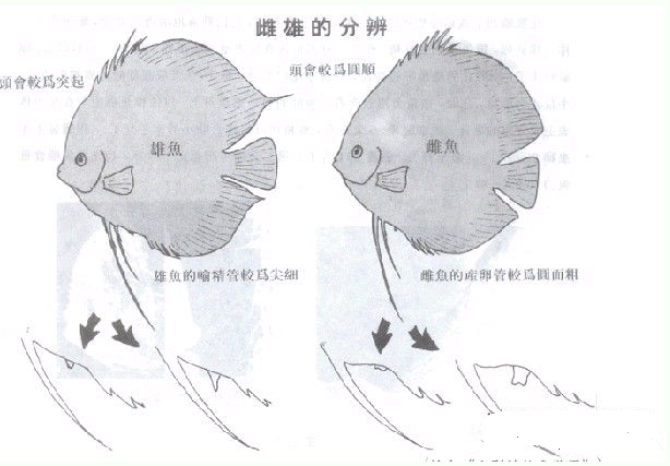 七彩神仙鱼怎么分公母图片