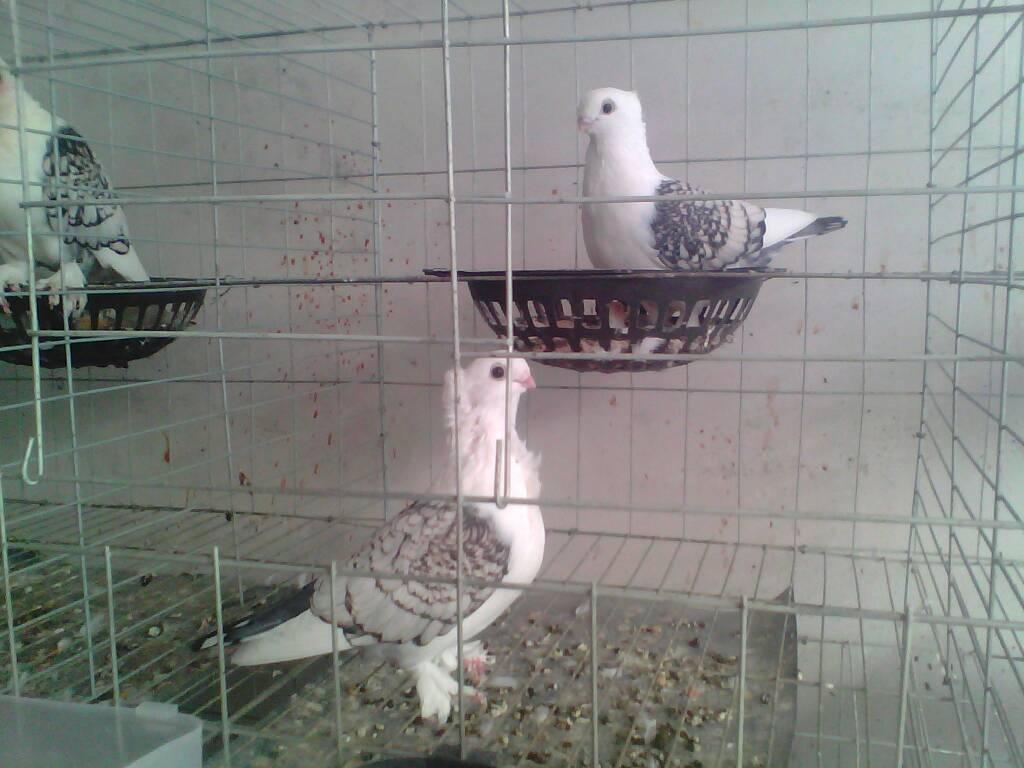 鸽子笼怎么搭建