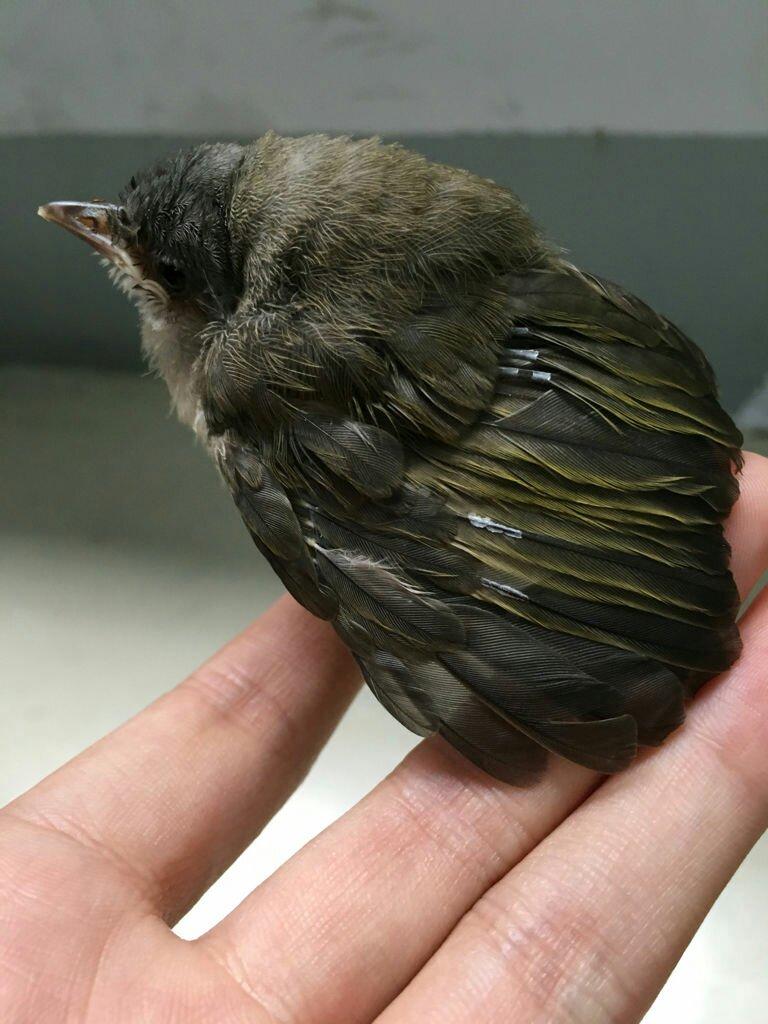 这是白头鹎幼鸟.
