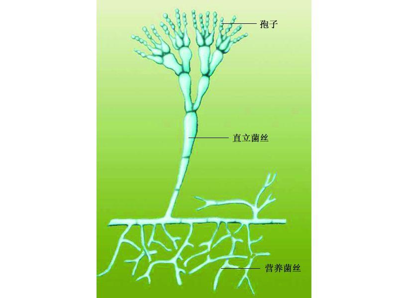 真菌的结构图
