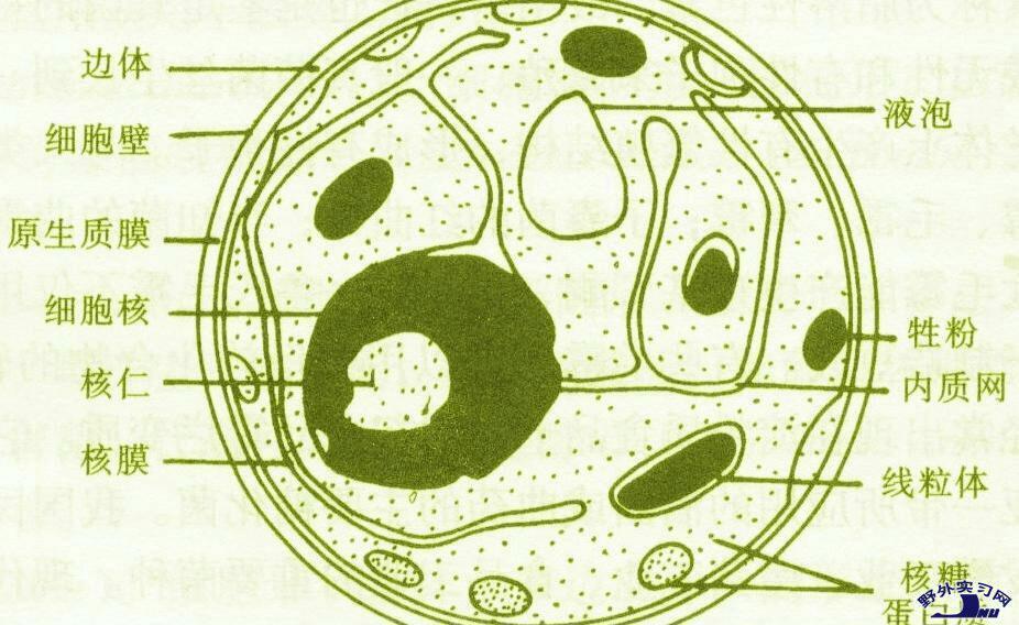 求详细的动物,植物细胞手绘图