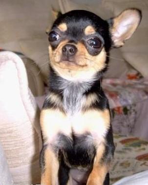 世界上最可爱的狗狗!是哪种?(有图最好)