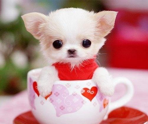 茶杯狗的什么样子图片
