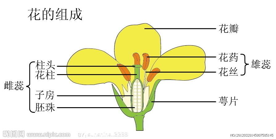七年级生物花的结构图