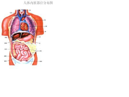 人体各脏器分布�_人体内部器官分布图
