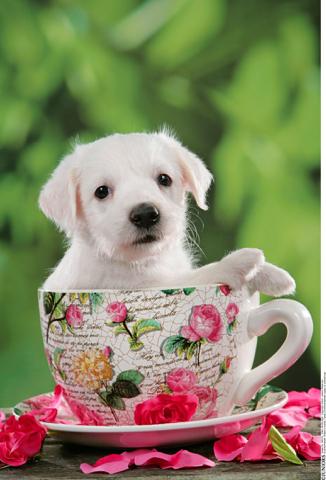 茶杯狗,搜图