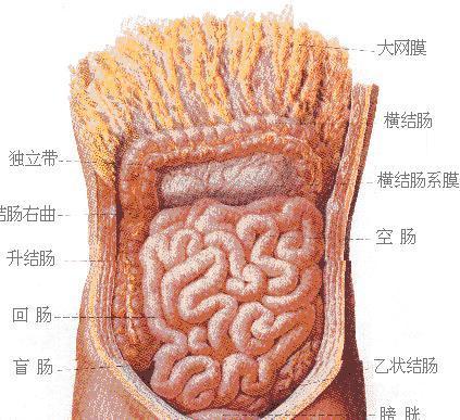 人体肠道结构图_人体肠道示意图