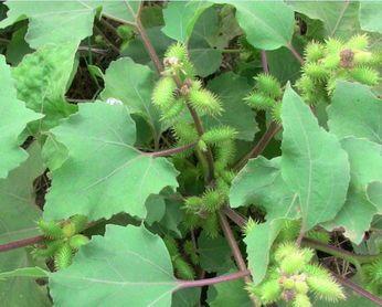 此外,苍耳草或全草亦可药用,但苍耳为有毒植物,以果实为最毒,使用须