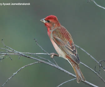 朱雀,红马六鸟,麻料鸟,候鸟,秋冬季迁徙于~南,北方.