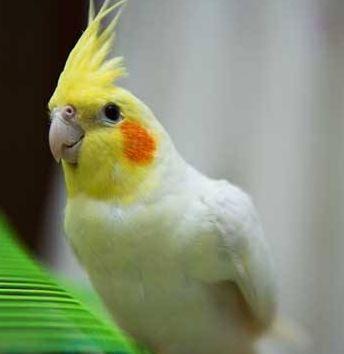 鹦鹉鸡表情是脆皮夸人长得漂亮的表情包图片