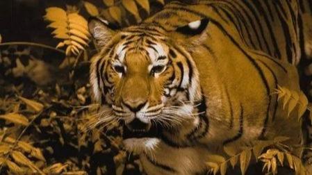 为什么老虎身上的伪装色不是绿色?的头图