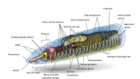 一条蚯蚓切成三段:有头无尾,无头无尾,无头有尾,哪段能活?