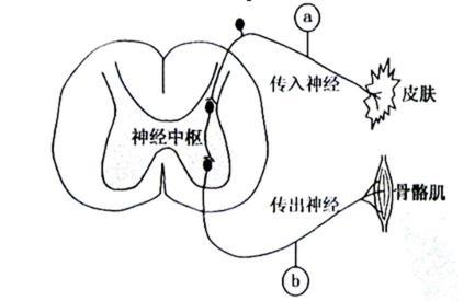 右图为该反射弧结构示意图