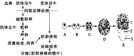 下图为胚胎移植的基本程序及早期胚胎发育过程,请据图