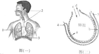 图(二)为肺泡与毛细血管之间的气体交换示意图,请据图回答下列问题