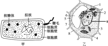 如图为两种不同细胞的亚显微结构模式图,识图后回答