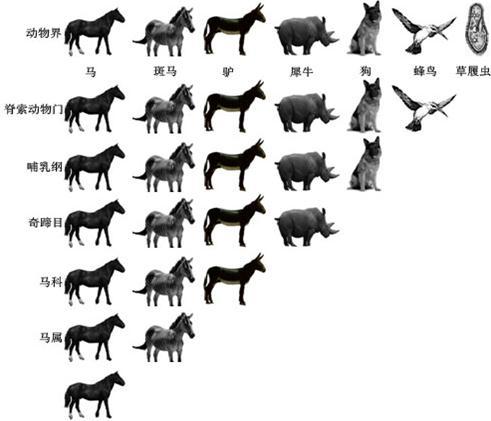 下面为马的分类地位图,请分析回答:(1)动物界被分为六
