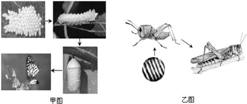 甲,乙图分别为蝴蝶和蝗虫的发育过程图片,据图回答下列问题.